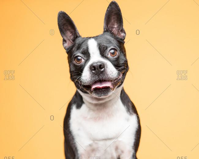 Studio portrait of a smiling Boston Terrier dog