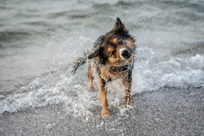 Dog shaking off water at the beach