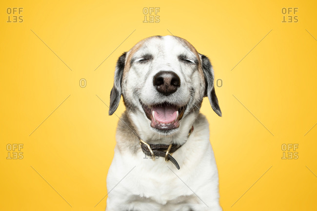 Studio portrait of a smiling dog in front of yellow background