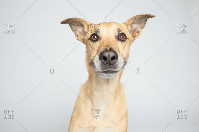 Studio shot of a tan smiling dog