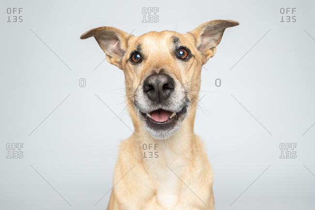Studio shot of a tan smiling dog in front of white background