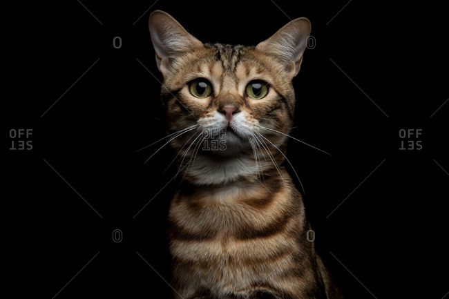 Studio portrait of a Savannah cat