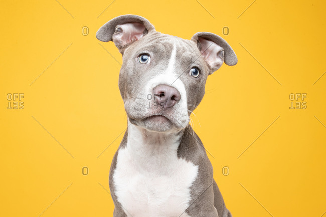 Studio shot of a gray and white pit bull puppy