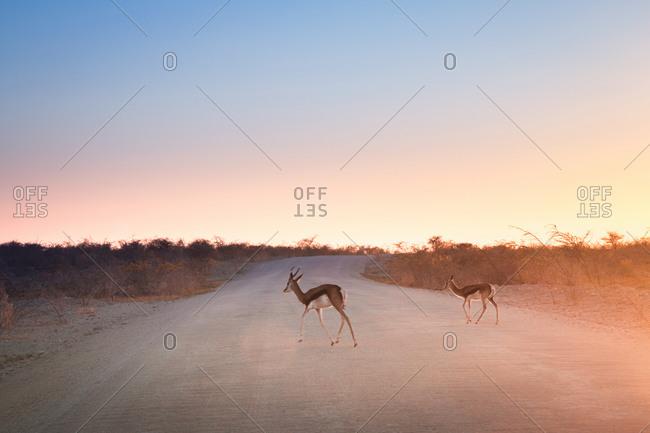 A couple of springboks cross the safari road at sunrise in Etosha National Park, Namibia, Africa