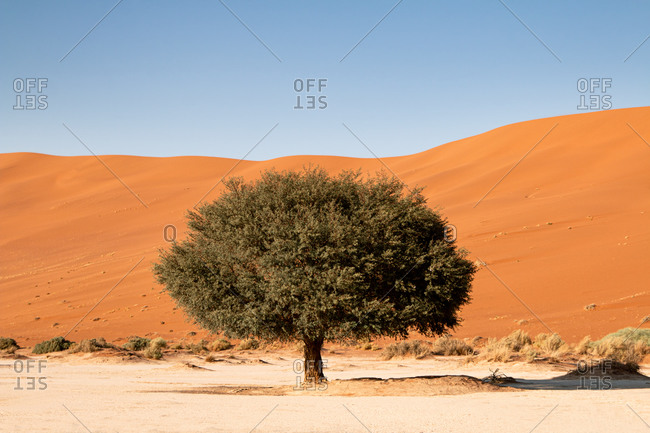 Living Camelthorn Tree against orange dunes in Sossusvlei dry pan, Namib Naukluft National Park, Namibia, Africa