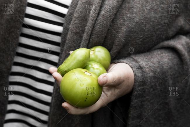 Hands holding fresh heirloom green tomatoes