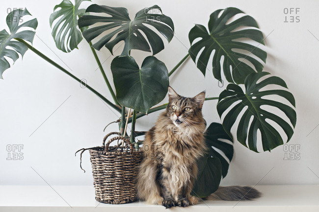 Brown Maine coon cat sitting by large monstera plant rattan basket