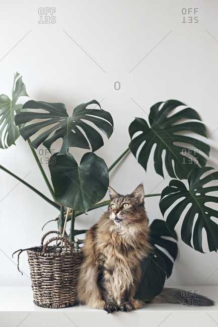 A brown Maine coon cat sitting by large monstera plant rattan basket
