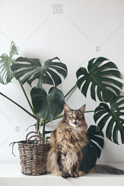 Portrait of a brown Maine coon cat sitting by large monstera plant rattan basket