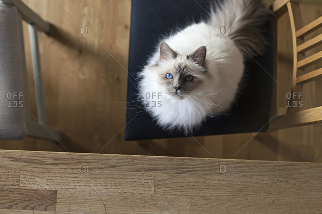 Cute white sacred barman cat looking up from chair