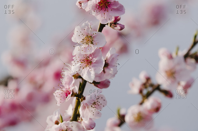 Spain- Pink blossoming branches of almond tree (Prunus dulcis)