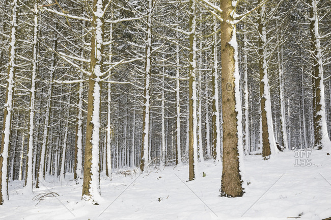 Germany- North Rhine-Westphalia- Snow-covered spruce forest in High Fens Eifel Nature Park