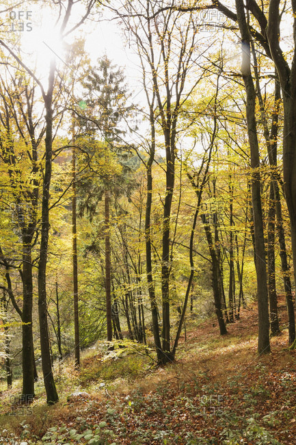 Germany- North Rhine-Westphalia- Autumn forest in Eifel National Park
