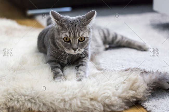 Germany- Portrait of gray British Shorthair cat relaxing on animal skin rug