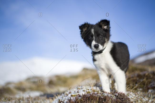 Scotland- Genesee- portrait of Border Collie puppy