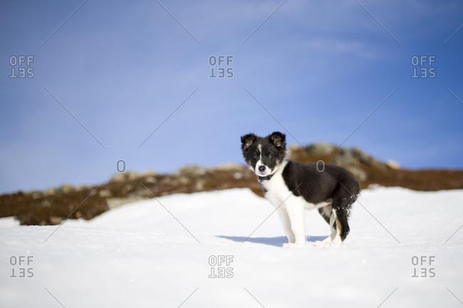 Scotland- Genesee- Border Collie puppy in snow