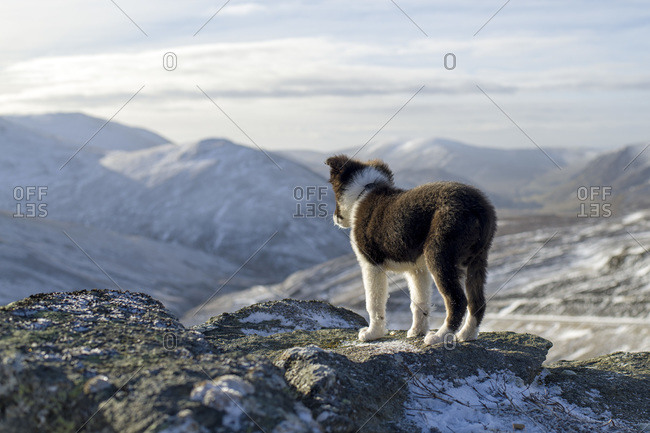 Scotland- Genesee- back view of Border collie puppy looking at view
