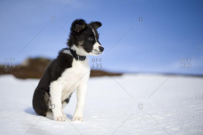 Scotland- Genesee- portrait of Border Collie puppy in snow
