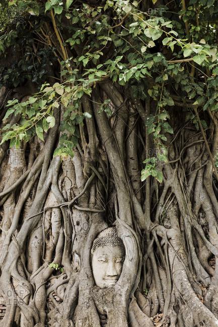 Hidden Buddha in tree growing at Ayutthaya- Thailand- Asia