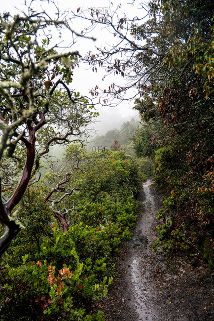 Hiking trail weaving through Manzanita on foggy mountain side.