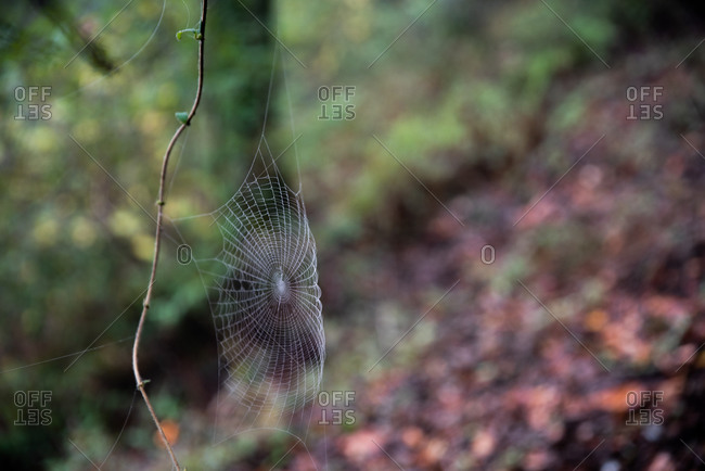 Spider web with dew on it built onto vine above forest floor
