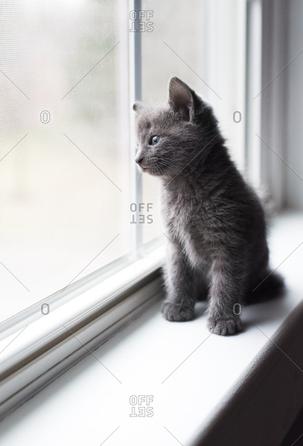 Adorable gray kitten sitting on a window ledge looking outside.
