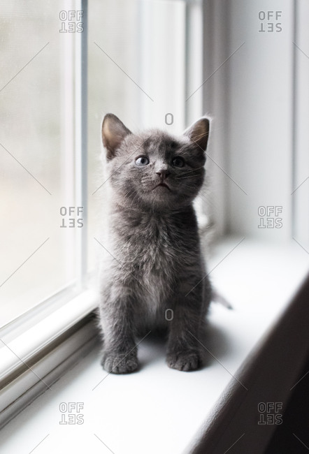 Close up of adorable gray kitten sitting on a window ledge looking up.