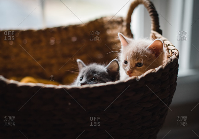 Two cute kittens peeking out over the top of a wicker basket.