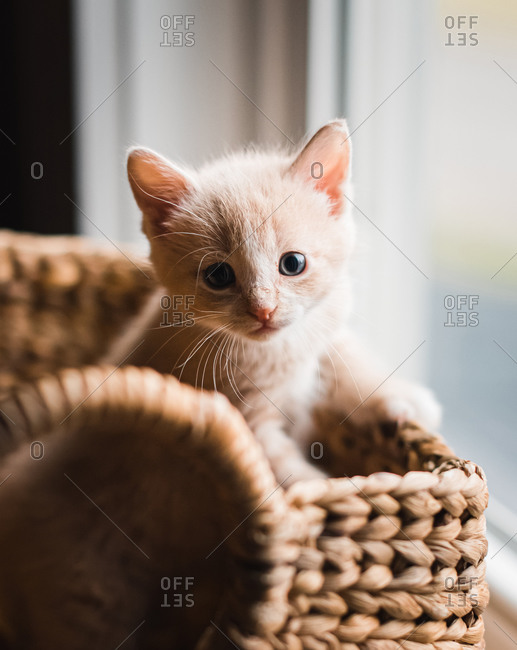 Cute beige kitten climbing out of a wicker basket.