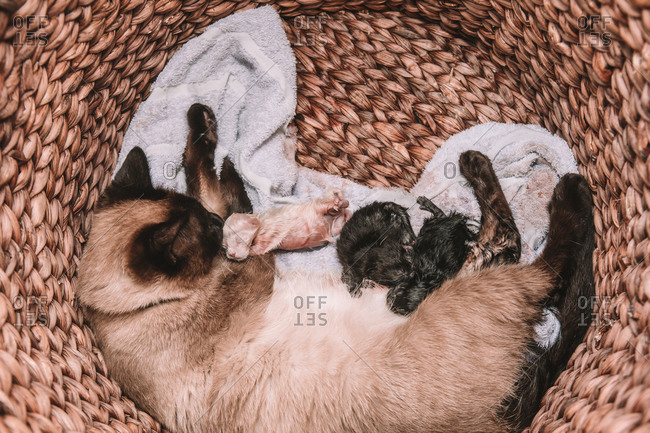 Siamese Cat Gives Birth To Litter of 5 - White and Black Kittens