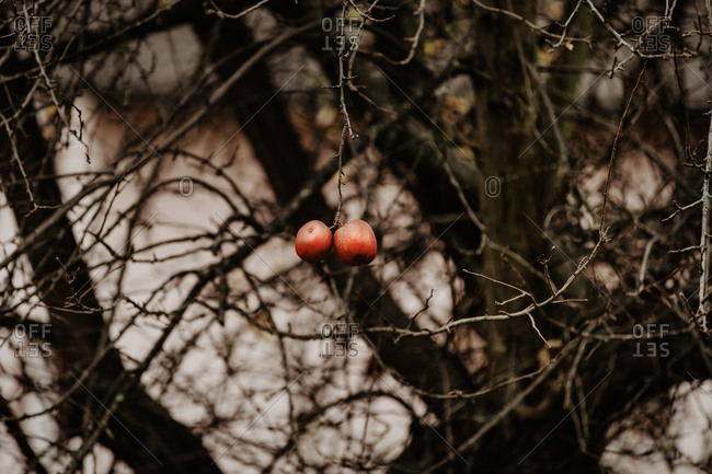 Two last red apples hanging on the bold apple tree.