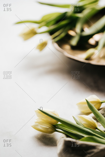 Close up of yellow tulips on a light background