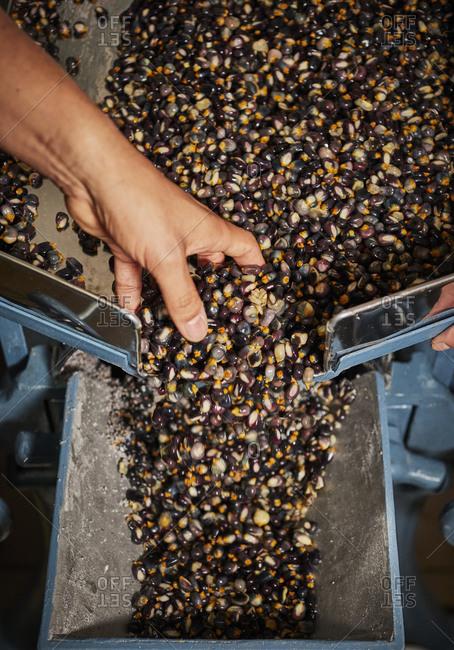 Hand making masa with heirloom corn