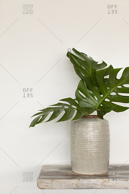 Monstera leaves in a large vase
