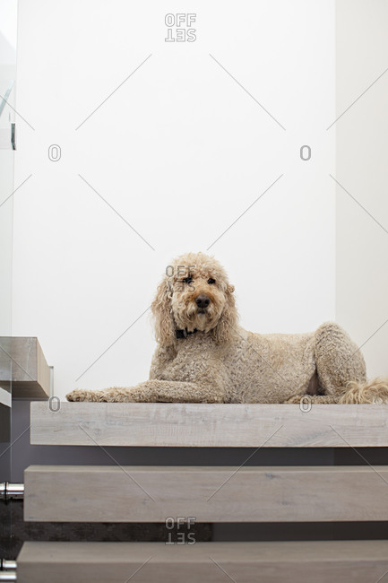 Large Goldendoodle dog sitting at the top of a modern staircase