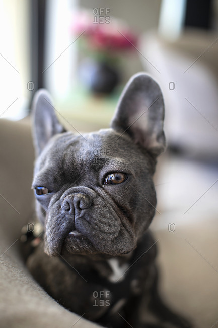 Gray French Bulldog relaxing on sofa