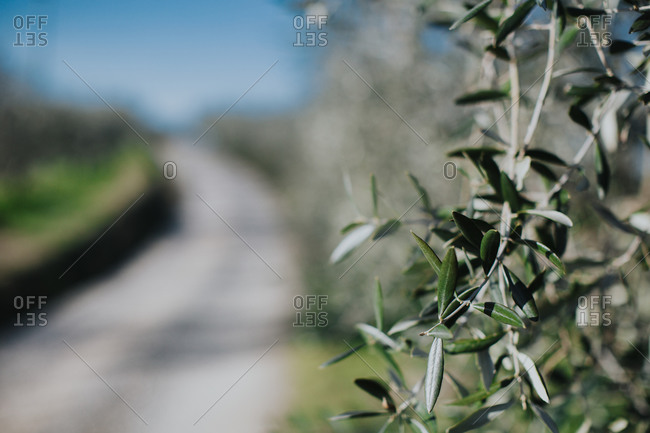 Closeup of olive leaves against a blurry gravel road in Tuscany