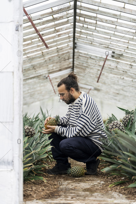 Man crouching in greenhouse examining pineapple