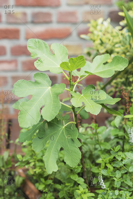 Close-up of growing fig (Ficus carica)