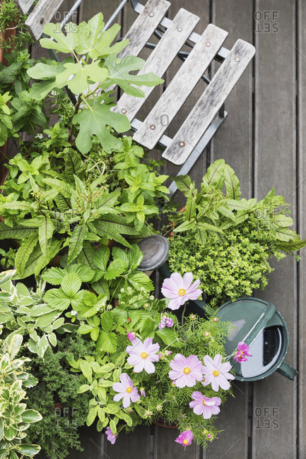 Various culinary herbs growing on balcony
