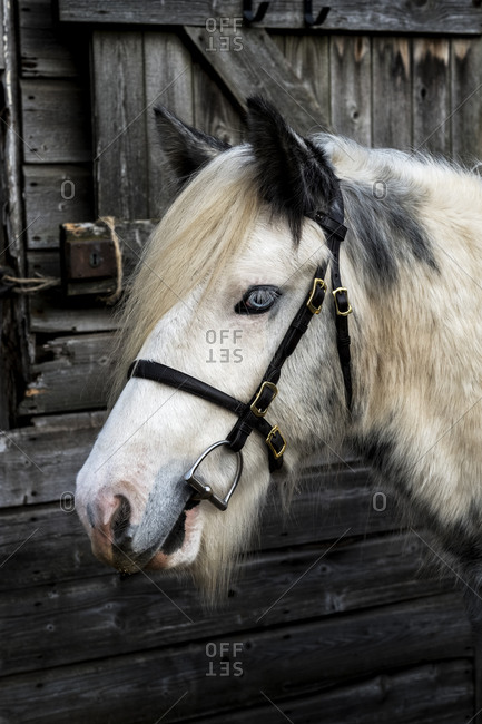 Close up of white Cob horse standing outside stable.