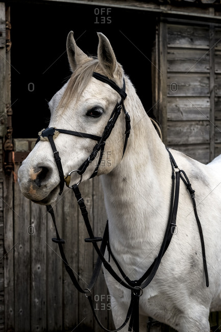 White Cob horse standing outside stable.