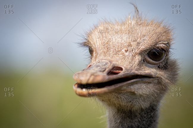The head of an ostrich, Struthio Camelus, looking out of frame, beak slightly open