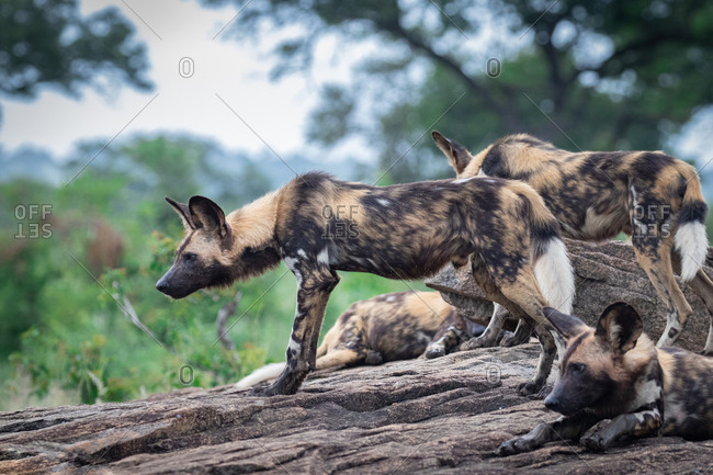 A pack of wild dog, Lycaon pictus, stand a lie together