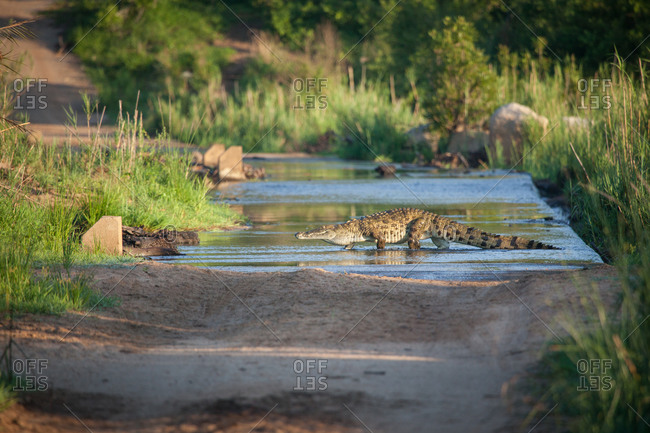 A Nile crocodile, Crocodylus niloticus, as it walks across a river on a causeway