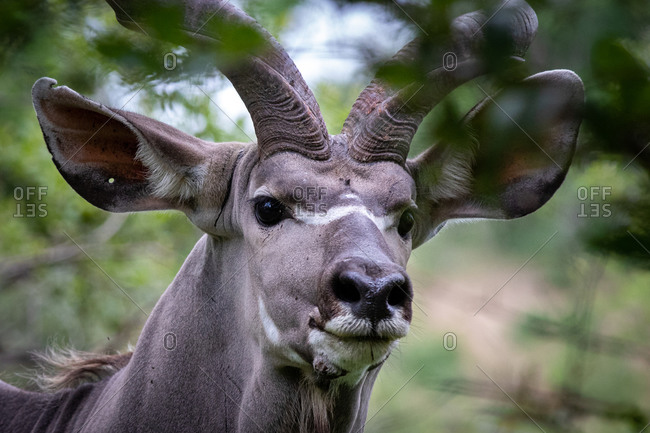 The head of a kudu, Tragelaphus strepsiceros, direct gaze, ears forward