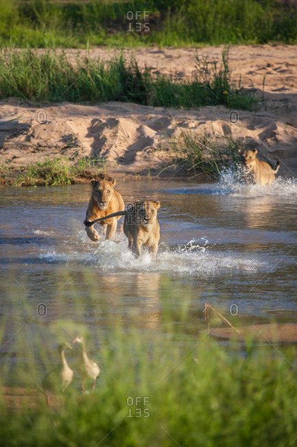 A pride of lions, Panthera leo, run through a river