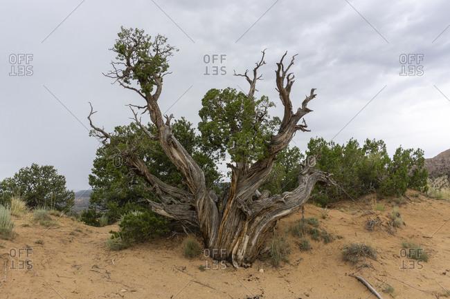 Iconic Georgia O'Keeffe Juniper Tree, New Mexico