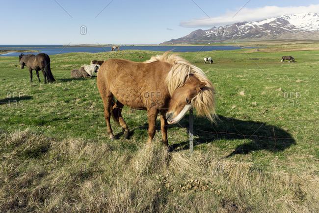 Friendly Icelandic Horses of the Highlands