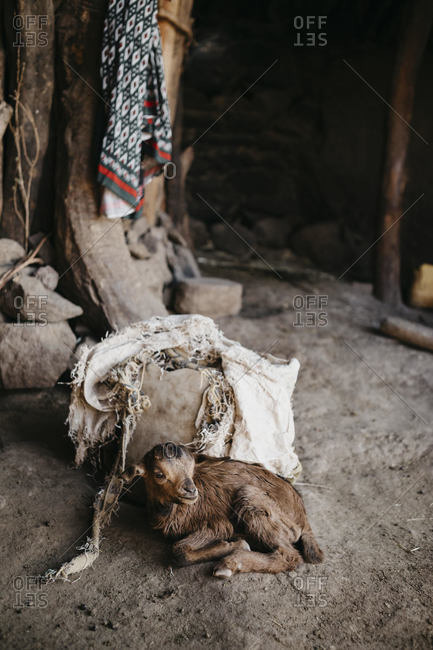 Kid goat resting at house in village- Ethiopia- Central Tigray- Mugulat